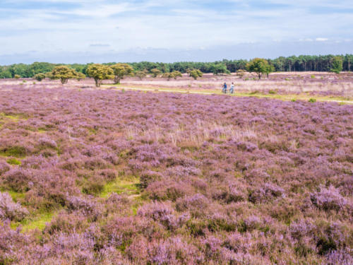 Landscape of purple heath in bloom and people bicycling on path in nature reserve in het Gooi, Hilversum, Netherlands