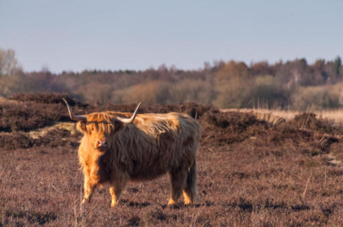 Scottish Higland cow on the Moorlands of the Dutch Province of Drente