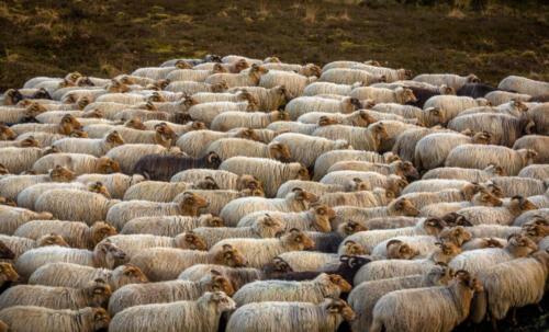 Drenthe Heath Sheep Herd