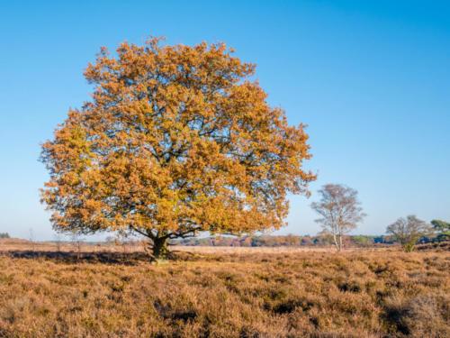 Colourful autumn oak tree in heath nature reserve Zuiderheide, Laren, het Gooi, Netherlands