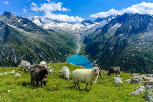 Schlegeis Stausee mit Schafe