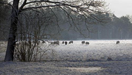 Sheep at Boschoord. Winter at Maatschappij van Weldadigheid Frederiksoord Drenthe Netherlands Snow.