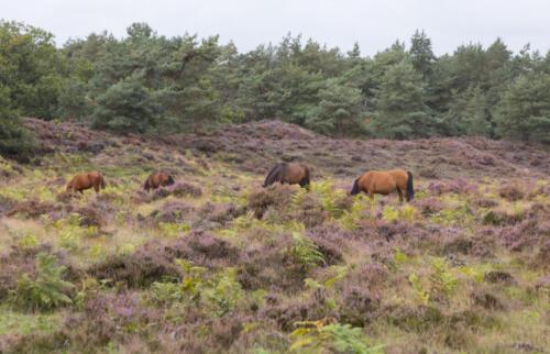 wild horses from viewpoint De Valenberg, in natrure reserve Planken Wambuis
