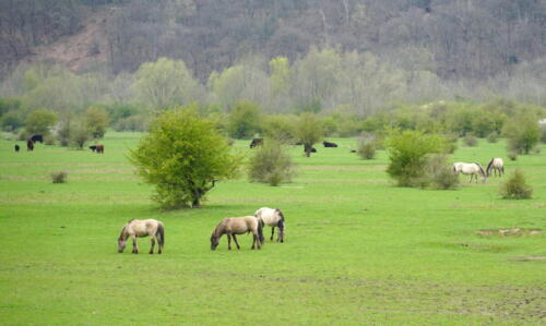 Konik horses in a nature area called Blauwe Kamer near the village of Rhenen in the Netherlands
