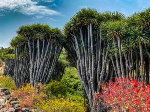 Dragontrees rondwandeling