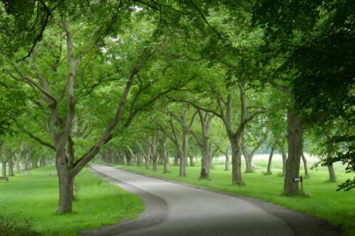 laan met walnotenbomen op Mariënwaerdt